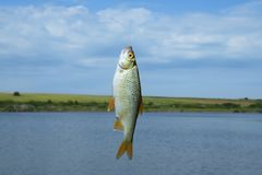Carp Fish on the hook, angling Stock Photos