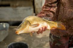 Carp fish in human hand, shallow depth of field, close-up, fishing. Carp fish in human hand, caught live fish, fishing, closeup, shallow depth of field Stock Images