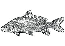 Carp fish illustration, drawing, engraving, line art, realistic. Carp fish, what made by ink, then it was digitalized Stock Image
