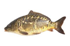 Carp fish isolate Royalty Free Stock Photos