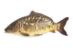Carp fish isolate. This carp fish catch my husband royalty free stock photos