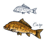 Carp fish isolated sketch for food themes design. Carp fish isolated sketch. Mirror carp freshwater fish with large scale for fishing sport emblem, fish market Royalty Free Stock Photography
