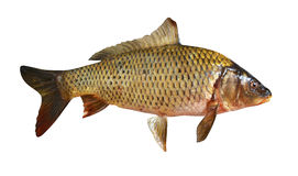 Carp fish isolated Royalty Free Stock Photo
