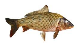 Carp fish isolated. On a white background royalty free stock photo