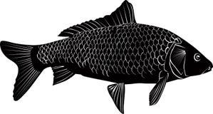 Carp fish isolated. On a white background royalty free illustration
