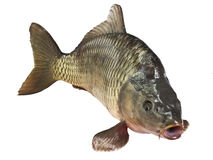 Carp fish Isolated. On white background Royalty Free Stock Photography