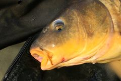 Carp Fish Laying On Landing Mat. A carp lays on a landing net after being caught by an angler stock photo