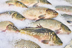 Carp fish lie on ice in supermarket store Stock Photography