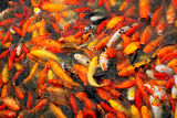 Carp fish. Mass of carp fish in the pool royalty free stock photo
