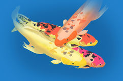 Carp fish masses closeup. Colorful carp fish with blue background Stock Image