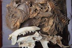 Carp fish and pig head skeleton Stock Photo