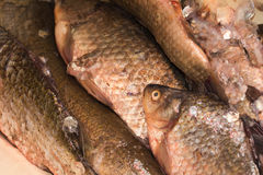 Carp fish Royalty Free Stock Image