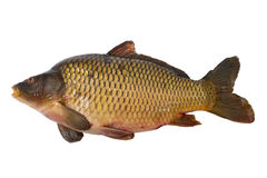 Carp fish. Studio shot of carp fish isolated on white Stock Photos