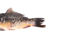 Carp fish tail. Macro. Royalty Free Stock Images