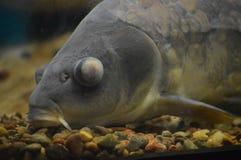 Carp fish in the tank. A carp fish in the tank stock photo