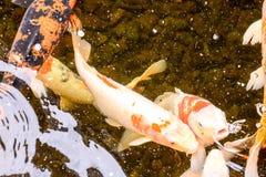 Carp Fish Texture Background Pattern Royalty Free Stock Photo