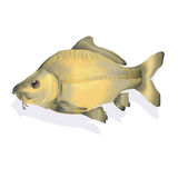 Carp. Fish in the water Royalty Free Stock Photography