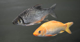 Carp fish Royalty Free Stock Photography