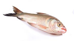 A carp fish on a white background. A fresh raw carp fish on the isolated white background-sea food photography Stock Image