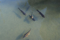 Carp fishes Royalty Free Stock Photos