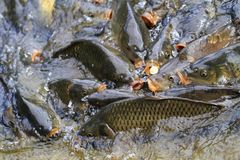 Carp fishes are hungry Royalty Free Stock Photos