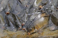 Carp fishes are hungry Stock Photo