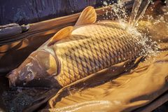 Carp fishing, angling, fish catching, capture. Big fish catch in water on sunny day. Alive carp in wet basket stretcher. Trophy, success, achievement. Hobby Stock Images