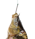 Carp on fishing hook Royalty Free Stock Image