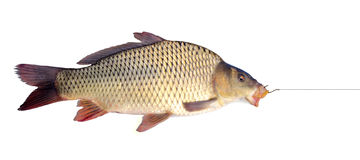 Carp on a fishing hook. Isolated over white Royalty Free Stock Photo