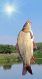 Carp on a fishing hook Royalty Free Stock Image