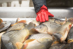 Carp fishing Royalty Free Stock Photo