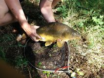 Carp fishing. Mirror carp fishing Royalty Free Stock Photos