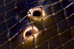 Carp in fishing nets. Close up of a fishing net full of fishes Royalty Free Stock Photos
