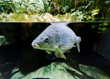Carp in fishtank at zoo. In Vienna, Austria stock photography