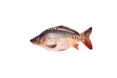 Carp fresh raw fish isolated on white background, clipping path Royalty Free Stock Photography