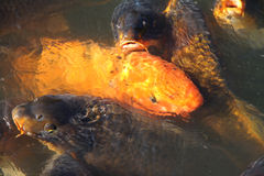 Carp gold fish close up Stock Photography