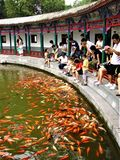 Carp, goldfish, lucky fish, sample of abundance in China. royalty free stock photography