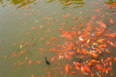 Carp group Stock Photos