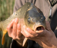 Carp in hand. Of the fisherman Royalty Free Stock Photography