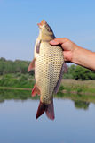 Carp in the hand of fisherman Royalty Free Stock Images
