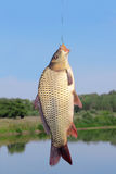 Carp in the hand of fisherman Royalty Free Stock Photo