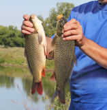 Carp in the hand of fisherman Stock Photography