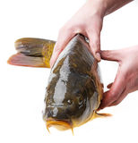 Carp and hands Royalty Free Stock Images