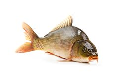 Carp has tasty dietary meat Stock Image