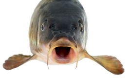 Carp head Stock Photo
