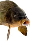 Carp head Royalty Free Stock Image
