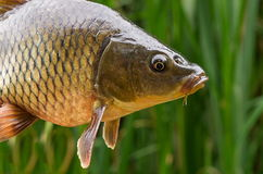 Carp. Head caught carp on the background of reeds stock images