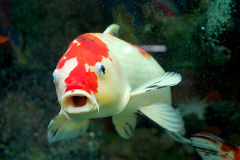 Carp in the home aquarium Royalty Free Stock Photography