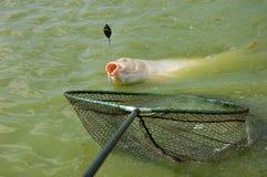 Carp hooked on the method feeder. Carp before the net caught on the method feeder Stock Photography