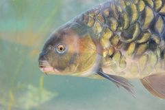 Carp inside a aquarium Royalty Free Stock Photo